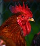 在传统自由放养的家禽场的雄鸡 免版税库存图片