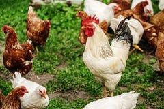 在传统自由放养的家禽场的雄鸡 免版税图库摄影
