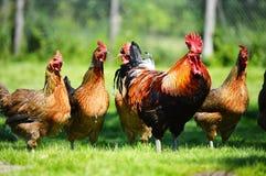 在传统自由放养的家禽场的鸡 库存图片