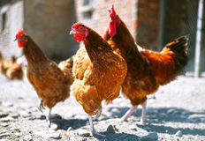 在传统自由放养的家禽场的鸡 图库摄影