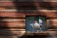在传统自由放养的家禽场的鸡 免版税库存图片
