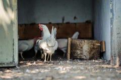 在传统自由放养的家禽场的鸡 免版税图库摄影