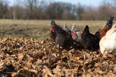 在传统自由放养的家禽场的鸡 库存照片