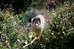 在伦敦动物园的松鼠猴子 库存图片