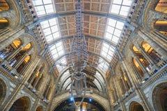 在伦敦采取的国家历史博物馆的垂悬的恐龙化石 免版税库存照片