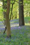 在伯勒屯修道院庄园的会开蓝色钟形花的草 免版税图库摄影