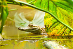 在似亚马逊沼泽的野生凯门鳄 免版税库存照片