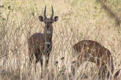 在低灌木和草中站立在嘘的公bushbok羚羊 图库摄影