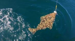 在体育运动垂钓线钩的阿拉斯加大比目鱼 库存照片