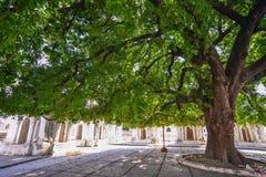 在佛教寺庙庭院的巨大的树  库存照片