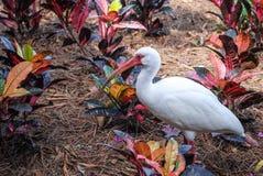 在佛罗里达动物区系的美丽的朱鹭 免版税库存图片