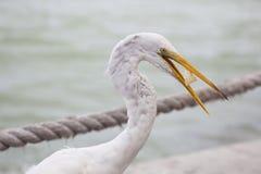 在佛罗里达墨西哥湾海岸手段的伟大的白色白鹭 库存照片