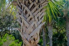 在佛罗里达棕榈树的吠声 免版税库存照片
