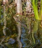 在佛罗里达沼泽地的边缘的小鳄鱼游泳 免版税库存照片