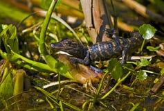 在佛罗里达沼泽的小鳄鱼 免版税库存图片