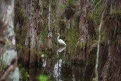 在佛罗里达沼泽的涉水鸟 图库摄影