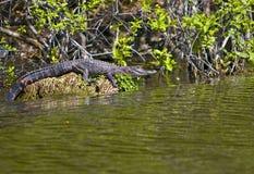 在佛罗里达沼泽的鳄鱼 免版税库存照片