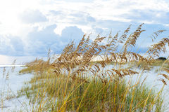 在佛罗里达海滩的金黄海燕麦 免版税库存照片