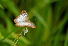 在佛罗里达雏菊的孔雀铗蝶 图库摄影