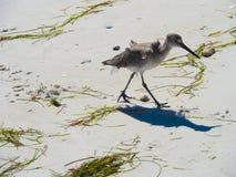 在佛罗里达2铺沙海滩的吹笛者在蜜月海岛上 免版税库存照片