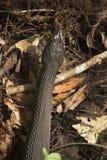 在佛罗里达` s沼泽地草丛的被结合的水蛇  免版税库存图片