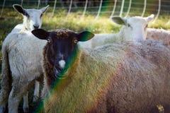 在佛蒙特农场的绵羊画象 库存照片