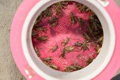 在作为诱饵将使用的蟋蟀笼子的活蟋蟀 图库摄影