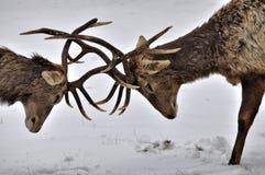 战斗的鹿 免版税图库摄影