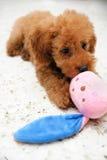 在作用的玩具狮子狗 库存图片