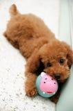 在作用2的玩具狮子狗 免版税库存照片