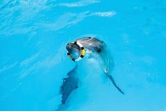 在使用与圆环的水池的一只海豚 库存照片
