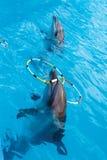 在使用与圆环的水池的两只海豚 免版税图库摄影