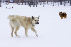 在使用在街道的一种好心情的两条狗 免版税库存图片