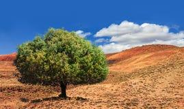在使荒凉的谷中间的偏僻的绿色圆筒芯的灯树在摩洛哥 美好的北非洲风景 免版税库存照片