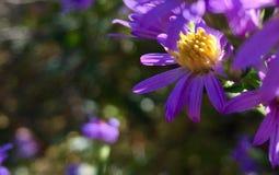 在供徒步旅行的小道的紫色野花灌木 免版税库存图片