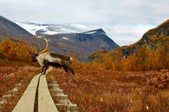 在供徒步旅行的小道的驯鹿 库存照片