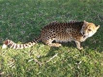 在侵略状态的猎豹在草的 免版税库存图片