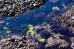 在俄勒冈海岸的浪潮水池 库存照片