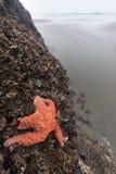 在俄勒冈海滩的星鱼 免版税库存图片