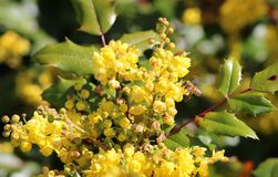 在俄勒冈葡萄的美国蜂蜜蜂 库存图片