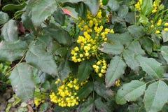 在俄勒冈葡萄leafage的明亮的黄色花  库存图片
