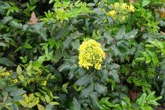 在俄勒冈葡萄leafage的黄色花  库存图片