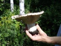 在俄国典型的森林里挤奶mushroomer的蘑菇和手 免版税库存图片