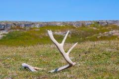 在俄国寒带草原找到的鹿鹿角 库存图片