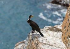 在俄国远东海鸟鸬鹚的Gamov半岛 库存图片