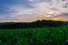 在保加利亚绿色玉米田的日出 免版税库存照片