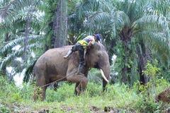 在保护应答者单位东部的亚齐的Sumateta大象 库存照片