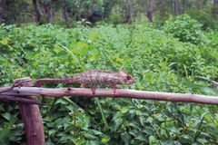 在保护的变色蜥蜴和热带丛林 琥珀色的Mauntin,地亚哥Surez,马达加斯加 免版税图库摄影