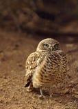 在保护他的巢的地面上的喘气的,大被注视的挖洞的猫头鹰 库存照片