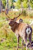 在保留的鹿 免版税库存照片